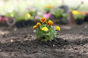 Marigold Flower planted in a new garden